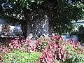 Gros Tilleul de Samoens (trunk).jpg