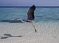 Grue cendrée en vol - Maldives.jpg