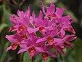 Guatemalan Guarianthe - Guarianthe x guatemalensis (33739576331).jpg