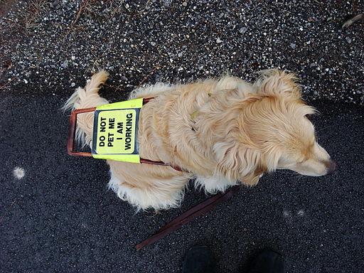 Guide dog golden retriever