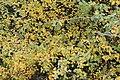 Guillomo (Amelanchier ovalis) en las faldas del Montcabrer.jpg
