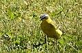 Gulärla Yellow Wagtail (31863726562).jpg
