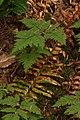 Gymnocarpium dryopteris 0318.JPG