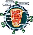 HI-Virion Structure (5080768345) zh.jpg