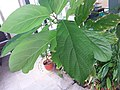 HK Mid-levels High Street clubhouse green leaves plant February 2019 SSG 85.jpg