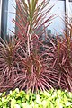 HK TKL 調景嶺 Tiu Keng Leng am 千年木 Dragon Tree 龍舌蘭科 Dracaena marginata Lam 灌木植物 plant red leaves Jan-2018 IX1 01.jpg