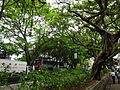 HK TST Nathan Road green Sidewalk Chinese Banyan trees Aug-2015 DSC (13).JPG