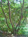 HK Tree Botany Bole Victoria Road Green Leaves.JPG
