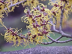 Hammamelis japonica