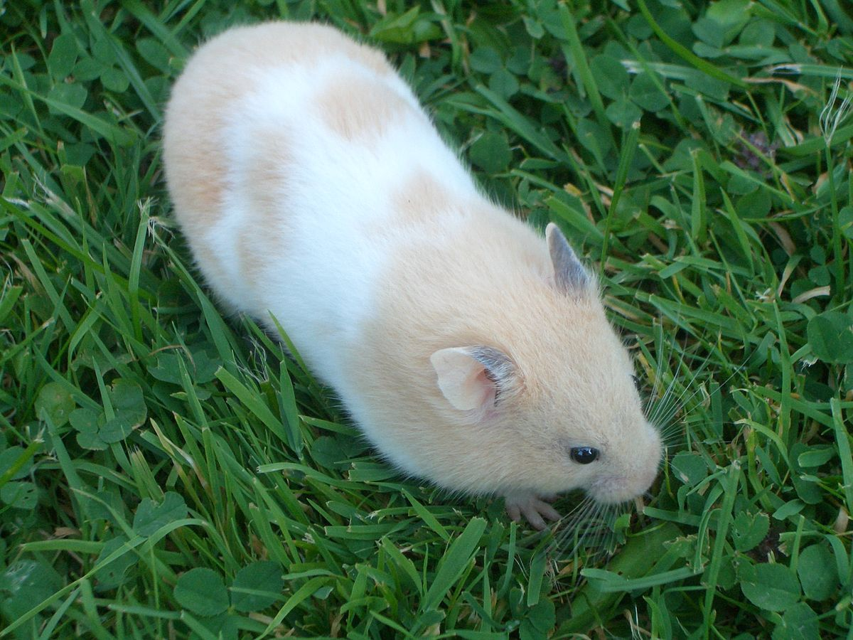Syrian hamster - Simple English Wikipedia, the free ...