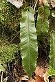Hart's-Tongue Fern - Asplenium scolopendrium (26510898067).jpg