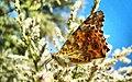 Hazar gölünde bir kelebek-Elazığ - panoramio.jpg