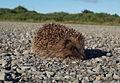 Hedgehog at Turnberry - geograph.org.uk - 234796.jpg