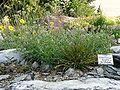 Helianthemum alpestre 822.JPG