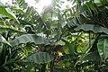 Heliconia rostrata Cervanda 7zz.jpg