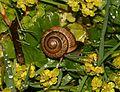 Helix - snail - Flickr - S. Rae.jpg