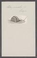 Helix pomatia - - Print - Iconographia Zoologica - Special Collections University of Amsterdam - UBAINV0274 089 01 0009.tif