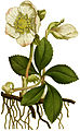 Helleborus niger 1797.jpg