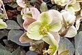 Helleborus x nigersmithii Ivory Prince 3zz.jpg