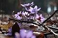 Hepatica nobilis 0590.jpg