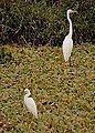 Heron & Egret in Everglades.jpg