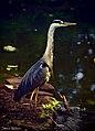 Heron (9075804296).jpg