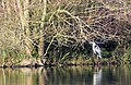 Heron at Lackford Lakes - geograph.org.uk - 1068697.jpg