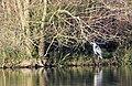 Heron at Lackford Lakes - geograph.org.uk - 1068697.jpg