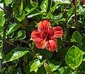 Hibiscus-rosa-sinensis-MDP.jpg