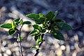 Hibiscus fragilis 8zz.jpg