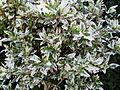 Hibiscus hybride de rosa-sinensis.JPG