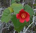 Hibiscus martianus Heart-Leaf-Hibiscus (homeredwardprice).jpg