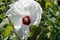 Hibiscus moscheutos Old Yella 1zz.jpg