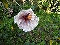 Hibiscus rosa sinensis hybrid-31-hanuman temple-muluvi-yercaud-salem-India.jpg