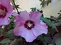 Hibiscus syriacus 001.jpg
