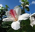 Hibiscus waimeae subsp. waimeae (5188165134).jpg