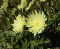 Hieracium intybaceum 300808a.jpg