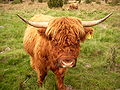 Highland Cattle 10.JPG