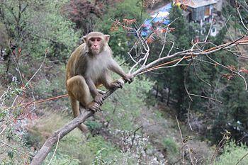 Himalayan Monkey1.jpg