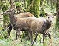 Hinds at Killarney National Park.jpg