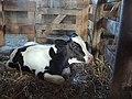 Holstein neonate.jpg