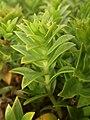Honckenya peploides subsp. major 7.JPG