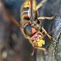 Hornisse Vespa crabro 6500.jpg