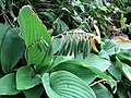 Hosta plantaginea fruit Funkia babkowata.jpg