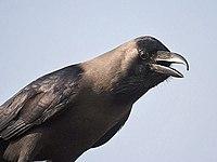 House crow I IMG 7314