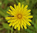 Hoverfly on flower.jpg