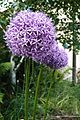 Huge allium - I really like these and thought I had missed them all. (14399340592).jpg