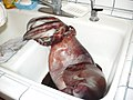Humboldt squid in sink.JPG