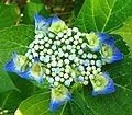 Hydrangea macrophylla ies.jpg