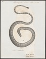 Hydrophis striatus - 1700-1880 - Print - Iconographia Zoologica - Special Collections University of Amsterdam - UBA01 IZ11800175.tif